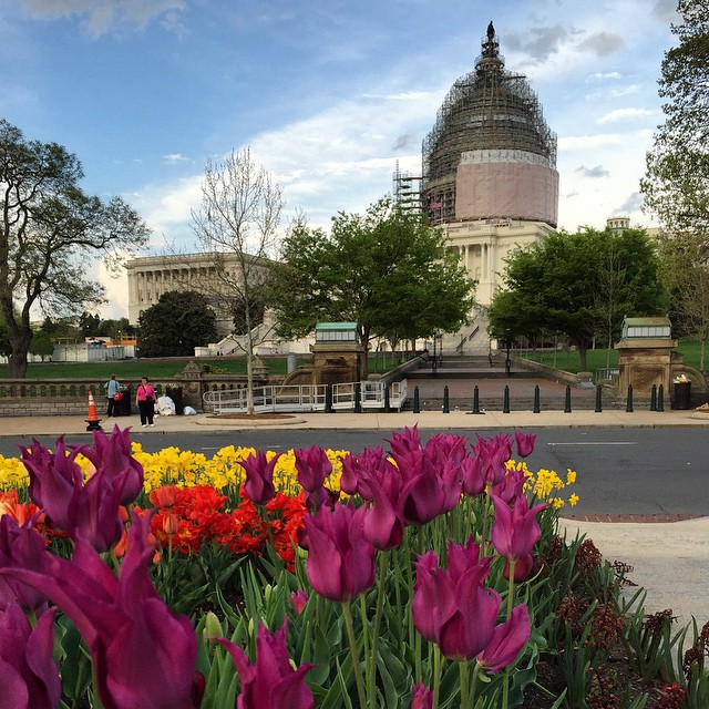 Tulips gone wild at the Capitol #IGDC #spring #dc