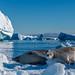 Crabeater Seals Near Pleneau Island, Antarctica
