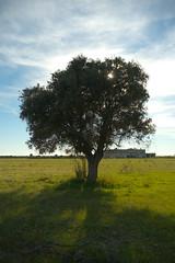 Faggiano - Albero solitario controsole con masseria abbandonata