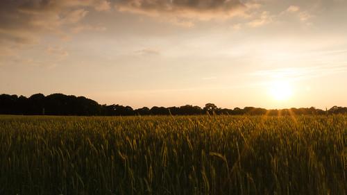 sunset sun field clouds gold wheat grain rays