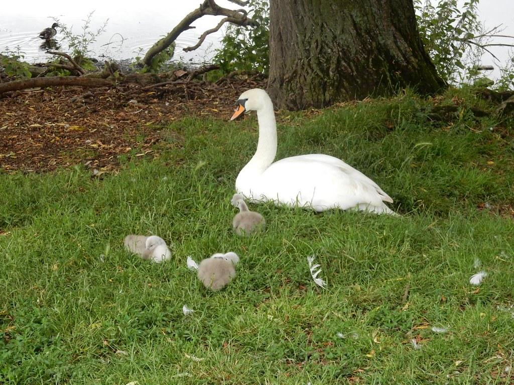 Swan & cygnets, Sudbury Bures to Sudbury