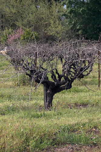 grass northerncalifornia vineyard sonomacounty winecountry touristpictures vinetrunk geyservillecalifornia stevenpmoreno stevenmorenospix2015
