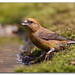 Common Crossbill 120415-0242 by David Whistlecraft