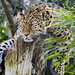 Amur Leopard - sleepy in the sunshine. by davebyford01