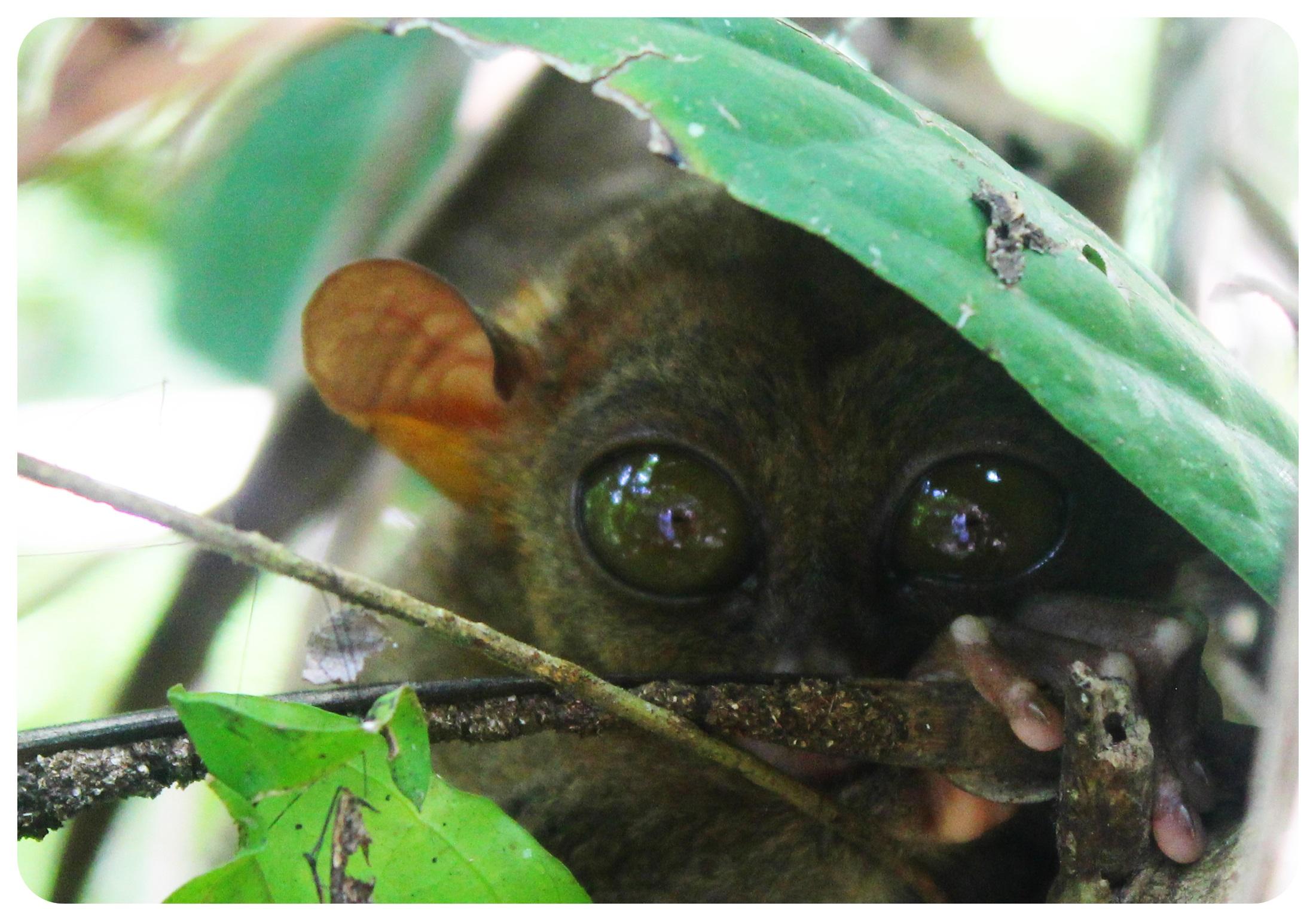 tarsier in bohol corella