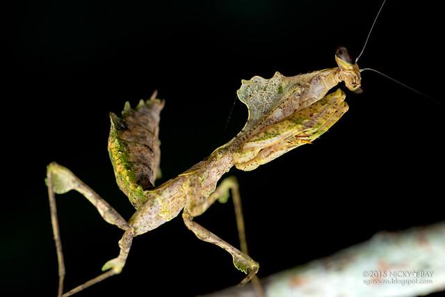 Dead leaf mantis (Deroplatys sp.) - DSC_3682