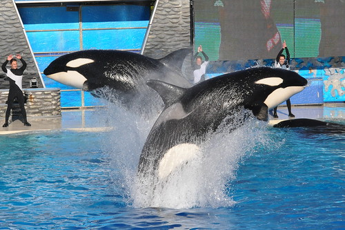 Killer Whales Jumping 09