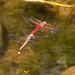 Cardinal (Sympetrum illotum) and Variegated Meadowhawk (S.corruptum), Feb 5 2014, Amatlan MOR MEX por Jukka Jantunen