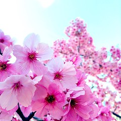Clouds of pink #sakura #Nagasaki