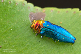 Jewel beetle (Endelus sp.) - DSC_5956