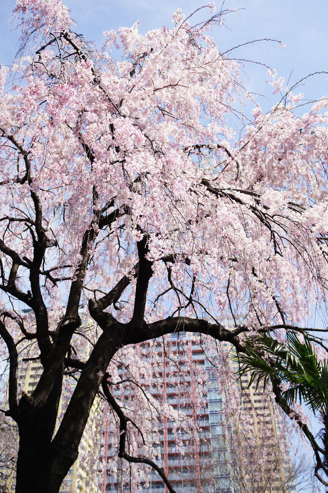 本行寺の枝垂れ桜