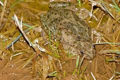 Parsley Frogs (Pelodytes punctatus) mating