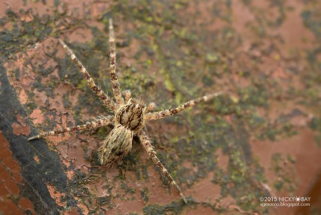 Nursery web spider (Pisauridae) - DSC_3828