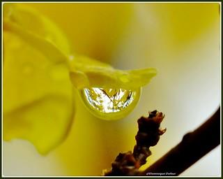 Transparence et reflets d'une goutte d'eau de pluie sur une fleur de Forsythia.