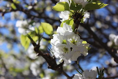 blossom, flower, branch, tree, flora, prunus spinosa, cherry blossom, spring,