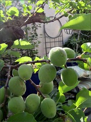 Blenheim apricots as of 4/3/15