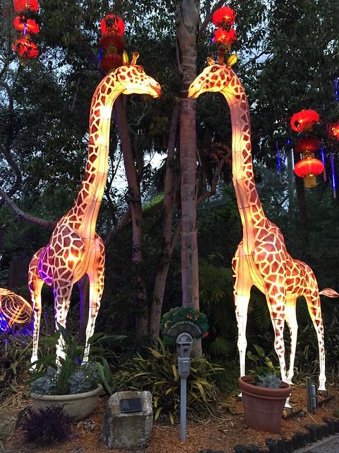 Zoominations Giraffes