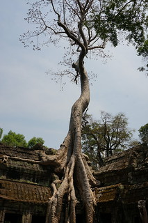 Tree growing from the roof of Ta Prohm