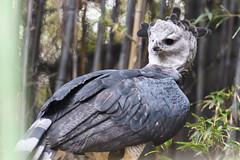 Harpy Eagle Looking Back