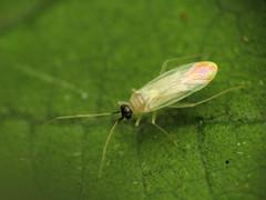 White Plant Bug