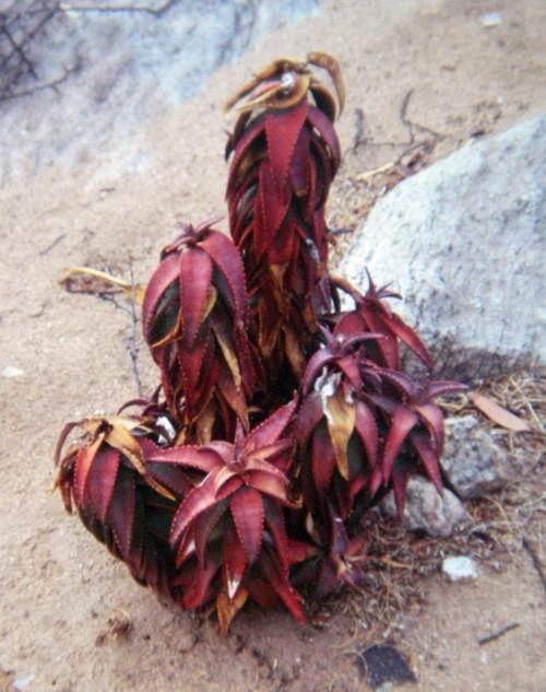 Aloe pearsonii 16149719624_7dd4744070_o