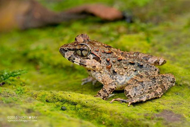 Dwarf toad (Pelophryne sp.) - DSC_3618