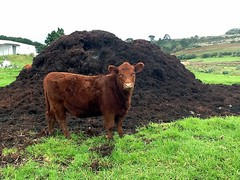 cattle-like mammal, animal, agriculture, farm, field, soil, grass, mammal, ox, fauna, meadow, cattle, pasture, rural area, grassland,