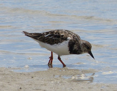 animal, fauna, red backed sandpiper, sandpiper, beak, bird, seabird, wildlife,