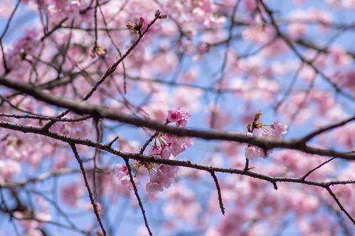 _IMG0589-HDR桜