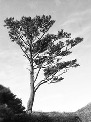 Coastal Tree BW