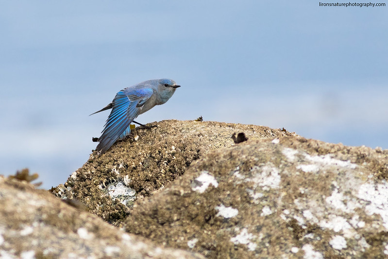 Mountain Bluebird wing stretch