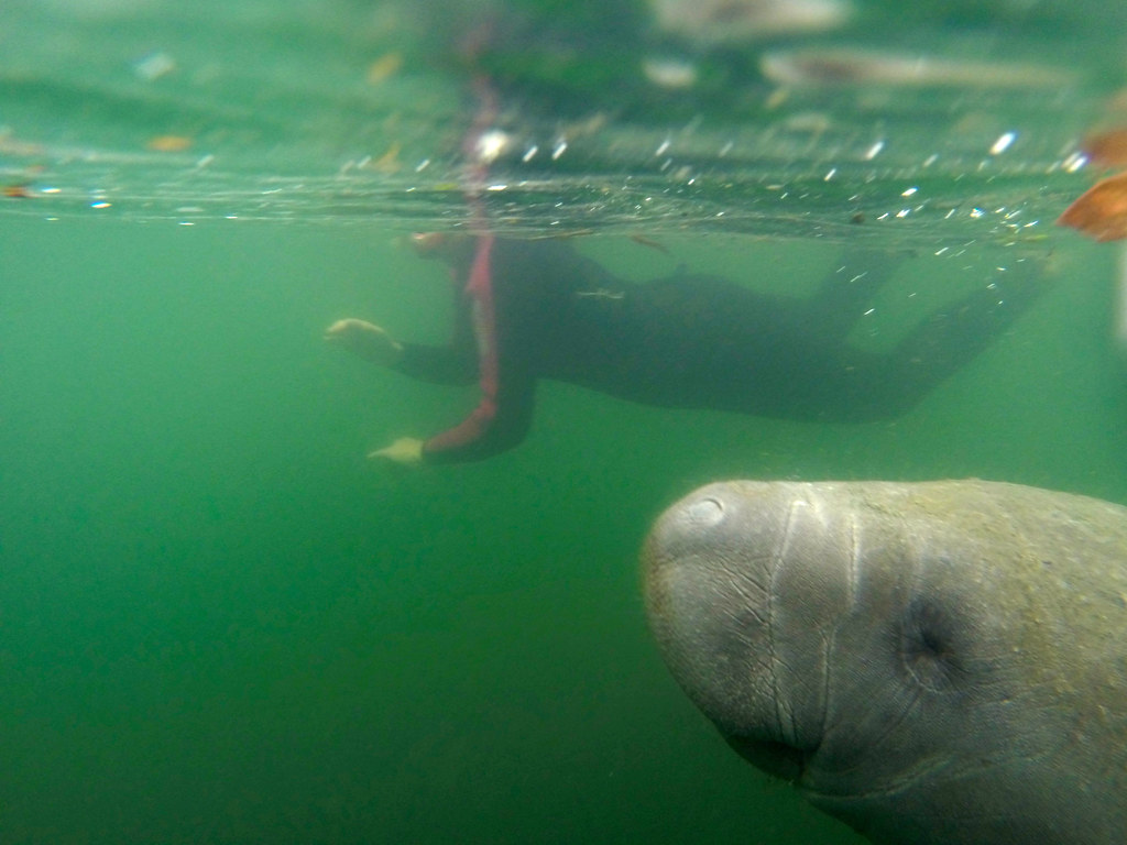 Swimming with Manatees in Crystal River, Florida