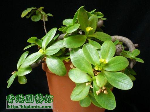 Euphorbia quartziticola 1