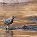 Small photo of American Dipper, Cinclus mexicanus