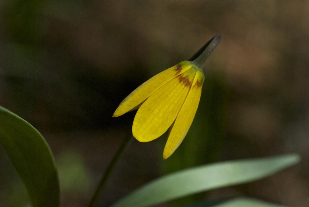 Yellow Bell ~ Fritillaria pudica