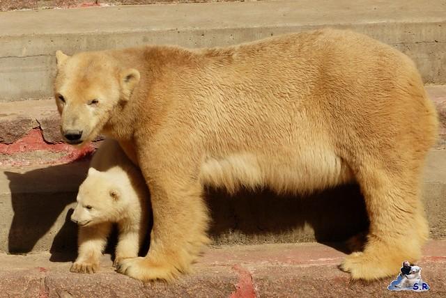 Eisbär Nachwuchs Zoo Rostock 30.03.2015  178