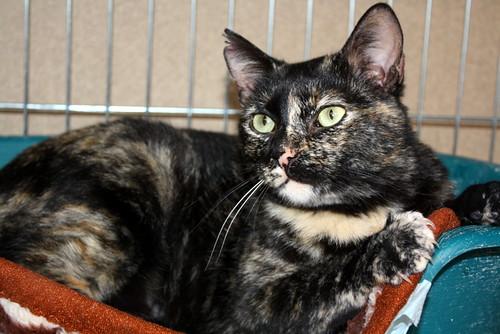 FALLECIDA- Mandala, preciosa gatita carey dulcísima de ojos verdes esterilizada, nacida en Julio´14, en adopción. Valencia. 16800356492_4d8f22134d