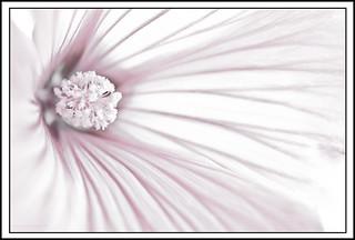 Lavatera Flower Macro