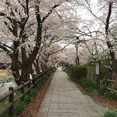 sakura mixed in with zelkova #latergram #hikone #shiga #sakura #桜 #彦根 #滋賀