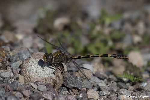Progomphus borealis