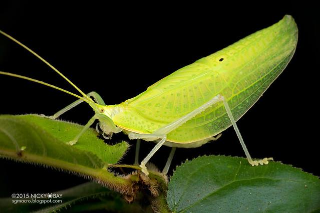 Katydid (Tettigoniidae) - DSC_3570