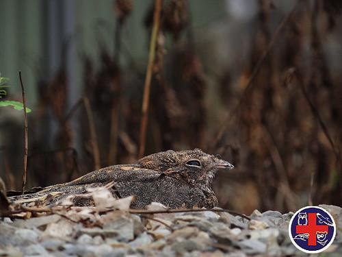 台灣夜鷹♂,圖片來源:野生動物急救站