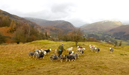 Hill shepherd with Lakeland Herdwick sheep