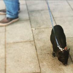 Just taking my little #piggy for a walk