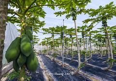Harry_24070,木瓜,網室木瓜,木瓜園,水果,�…