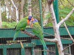 Rainbow Lorikeets at Ardastra Gardens, Nassau