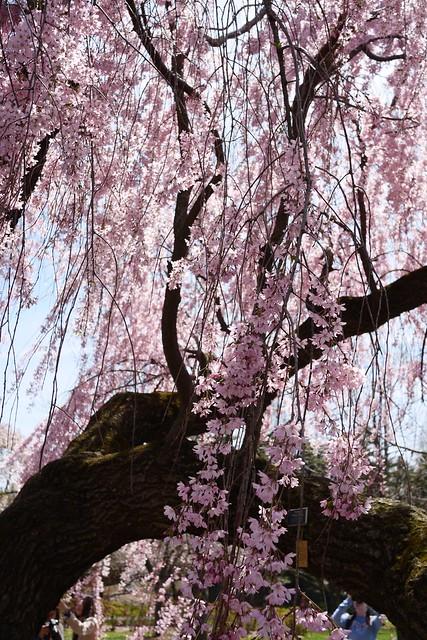 日, 2015-04-19 13:02 - Brooklyn Botanic Garden