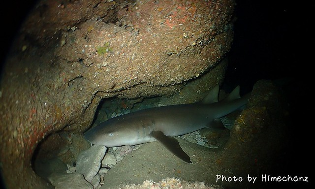 洞窟の中には2m程のオオテンジクサメ。爆睡です!