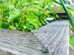 Photo 172/366: My Growing Garden   #365dayphotocha…