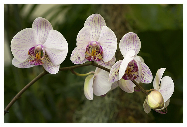 Mobot Orchid Show 2015-03-07 10